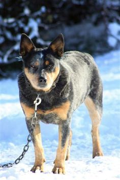 This is Jerrah, she is a Blue Heeler and was born March 1, 2007