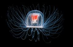 Immortal jellyfish are small interesting creatures with the gift of immortality. Find out more with these interesting facts about immortal jellyfish. Medusa, Jellyfish Facts, Jellyfish Pictures, Photos Hd, Nature Photos, Animal Facts, Happy Animals, Animals Sea, Glass Animals