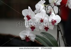 Orchids Stock Photos, Images, & Pictures   Shutterstock