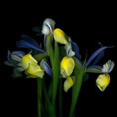 RAZZMATAZZ...THE YELLOW and BLUE IRIS. - SUPPORT the PHOTOGRAPHER: BUY DIRECT!  Bought a mixed bouquet, saw just the tips of the yellow Irises, to my amazement, the center turned out blue, not seen that before, thus photo-session with my new elegant models. All the  curvacious beauty ... I don't talk to flowers, they talk to me and I gladly listen! In Flowers'-language: Iris means faith; hope; wisdom and valour In Fine Arts: the lenses also have an iris diaphragm which can be opened and…
