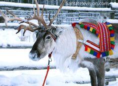 Un bellissimo esemplare di renna maschio di nella Lapponia finlandese