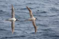 Cool picture of two Light-mantled Sooty Albatrosses. They live a pelagic life (at sea), except when breeding.