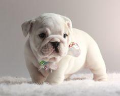 SUPER cute bulldog babies! www.cadillacbulldogs.com