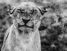 Venturing in the rain. A lioness caught in a strong torrential downpour on the savannah. Cats are notorious for their intense hate of water and this capture certainly demonstrates just that. Photo by Mike Fell Photography. www.mikefellphotography.com