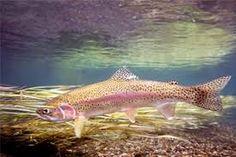 Resultado de imagen para peces de paramo