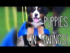 Some hump day afternoon relaxation for you.   These Cute Dogs Are So Happy On Their Swing Sets! - YouTube