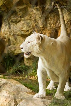 white tigers @ The Secret Garden, Las Vegas Mirage
