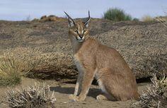 Es un animal astuto y escurridizo que se mueve con comodidad desde las sabanas y semidesiertos de Africa, hasta incluso algunas montañas de Turquía y la India.