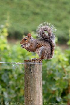 Cape winelands squirrel (by Jeanne Horak-Druiff)
