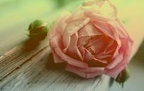 Withered Peach Rose Wallpapers Pictures Photos Images