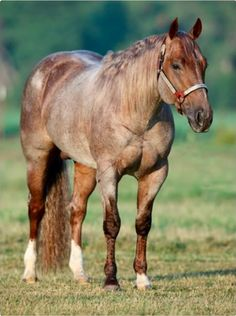 Metallic Cat a red roan Quarter Horse.