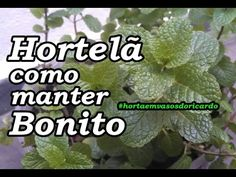 Como manter seu hortelã sempre bonito/How to keep your mint always beaut...