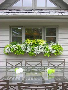 Pretty bright green & white window box - potato vine, coleus, milliflora petunias. Master bedroom windows