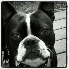 Well, Hello there.  Boston Terrier, Rocket Dog