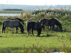 De paarden uit de Oostvaardersplassen.... Ik zie ze liever zo als niet meer.... Fall Decor, Cow, Animals, Animales, Animaux, Autumn Decorations, Cattle, Animal, Animais