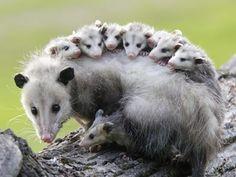 possums riding possum