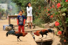 Cock Fight in Lao by Tim Feltrin on 500px