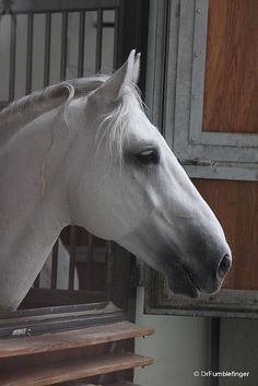 Vienna -- Lipizzaner Stallion