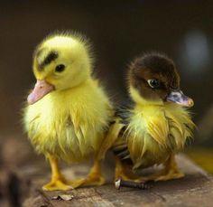So Cute...Baby Ducks!