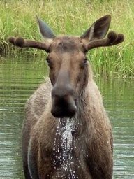 A moose poses for its beauty shot in Fairbanks, Alaska