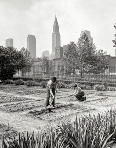"""June 1944. """"New York. School victory garden on First Avenue between 35th & 36th streets."""" Photo by Edward Meyer, Office of War Information. Prints from $15."""