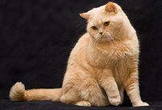 This British Shorthair kitty could be our gorgeous 15 year old boy's identical twin brother!!