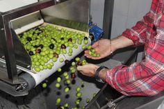 """In der Ölmühle erfolgt die zweite händische """"Auslese"""" nach dem Waschen der Oliven."""