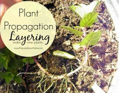 There are no special tools required for plant propagation by layering. It is the ultimate frugal way to get new plants for your garden. Flower Garden Plans, Diy Herb Garden, Garden Plants, Ayurvedic Hair Care, Plant Propagation, Cuttings, Herbs Indoors, Growing Herbs, Medicinal Plants