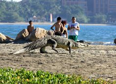A crocodile at the sanctuary in Ixtapa, Mexico escapes the heat by taking a dip in the nearby ocean with beachgoers.     Would you still go in?!