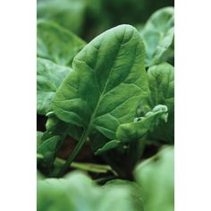 Spinach 'Medania' from Sarah Raven - http://www.sarahraven.com/veg_fruit/seeds/veg_seeds/spinach_medania.htm
