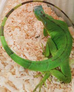 #iguana