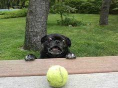 Um cachorro que não sabe o que fazer com essa bola de tênis.