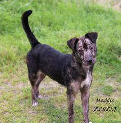 08/24/15-MADDIE Pit Bull Terrier Mix • Young • Female • Medium Montgomery County Animal Shelter Conroe, TX