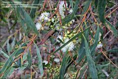 tasmanian black peppermint - Google Search Native Plants, Peppermint, Nativity, Google Search, Black, Mint, Black People, The Nativity, Birth
