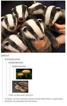 Hilarious Classy Memes That Are Worth Watching <<< badger badger badger badger mushroom mushroom. Funny Cute, The Funny, Hilarious, Badger Badger Mushroom, Honey Badger, Tumblr Funny, Funny Memes, Funny Animals, Cute Animals