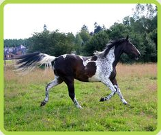 Here is Vision Morinda, heterozygous tobiano mare with Belton patterning..