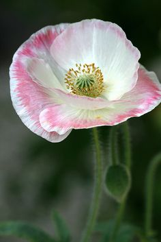 Shirley Poppy Bokeh photography flower pink