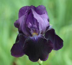 Sable - Tall Bearded Flag Iris