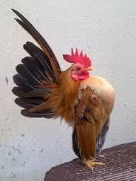 The Malaysian Serama Chicken » Everything Poultry