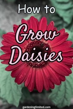 Do you love daisies? Want to learn how to grow them? Click on the pin to find some great information on how to grow daisies! #daisy #flowers #plants #gardening #bouquet #gardendesign #gardens #gardenideas #gardeninghacks #containergardening #urbangardening