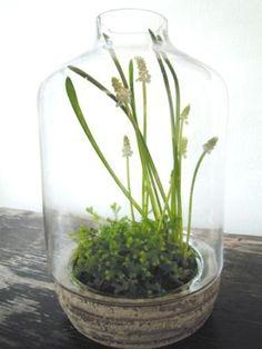 muscari in terrarium #Grove Design