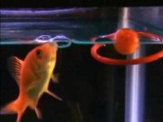 Fish Aquariums, Aquarium Fish, Betta Fish Toys, Planted Aquarium, How To Train Your, Freshwater Fish, Live Plants, Fish Tank, Hammock