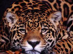 Jaguar, Brazil...beautiful!