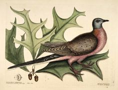 """""""The Pigeon of Passage"""" in """"The Natural History of Carolina, Florida, and the Bahama Islands"""" (1754) (courtesy Biodiversity Heritage Library)"""