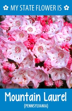 #Pennsylvania's state flower is the Mountain Laurel. What's your state flower? http://pinterest.com/hometalk/hometalk-state-flowers/