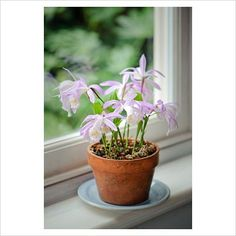 Beautiful pleione formosana in a pot on the windowsill. Window Sill, Gardens, Plants, Beautiful, Orchids, Tips, Gifts, Outdoor Gardens, Window Frames