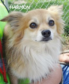 UPDATE-ADOPTED! AVAILABLE 9/9! STRAY Tag# 3160 Name is Harmon Pomeranian Mix Male-not neutered Approx. 3-4 years old  Approx. 25 lbs.  Appears house trained, timid   https://www.facebook.com/267166810020812/photos/a.694408773963278.1073742060.267166810020812/694408903963265/?type=3&theater