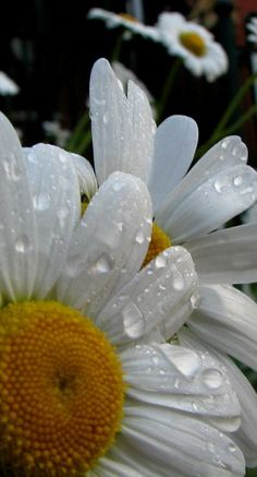 Daisies From: Hmkh, please visit April Birth Flower, White Sunflower, Sunflowers And Daisies, Daisy Field, Daisy Love, Happy Flowers, Little Flowers, Gerbera, Zinnias