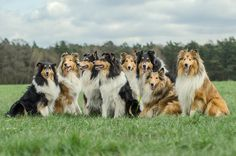 Beauties by Susann Jihlawez on 500px,Family Collie