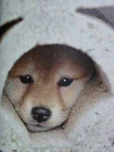 """柴犬, Shiba Inu <3 ~lisa. """"Shiba Inu puppy""""pic(C)CopyrighttvtokyoInc.AllRightsReserved. ***""""Don't remove Copyright credits from the original pin with Copyright credits! ~Pinterest copyright team"""""""